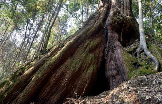 gỗ pơ-mu có mấy nhóm
