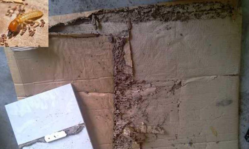 thuốc xử lý gỗ chống mối mọt